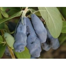 Жимолость съедобная Синий утёс