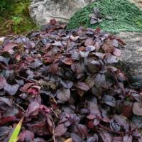Живучка ползучая Атропурпуреа