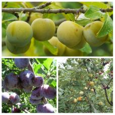 Дерево-сад (2-3летка) слива 2 сорта  Ренклод колхозный - Богатырская