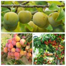 Дерево-сад (2-3летка) слива 2 сорта  Ренклод колхозный - Скороплодная