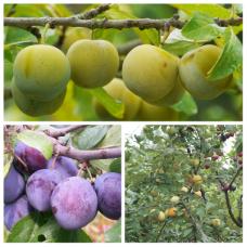 Дерево-сад (2-3х, 3-4х летка) слива 2 сорта  Волжская красавица -Ренклод колхозный
