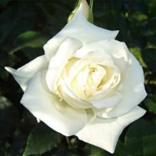 Роза чайно-гибридная Бианка