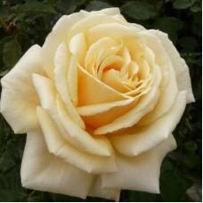 Роза чайно-гибридная Даймонд Джубили