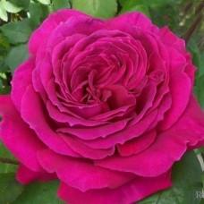 Роза чайно-гибридная Джорианда