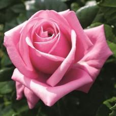 Роза чайно-гибридная Этерна