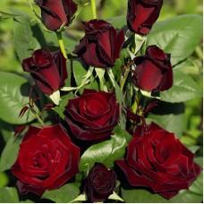 Роза чайно-гибридная Гранд Шато