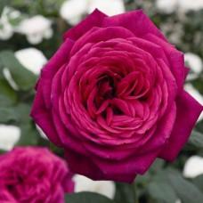 Роза чайно-гибридная Иоганн Вольфганг фон Гете