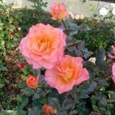 Роза чайно-гибридная Карлита