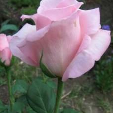 Роза чайно-гибридная Мархенкёнигин