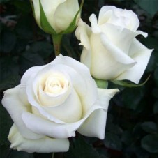 Роза чайно-гибридная Поло