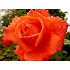 Роза чайно-гибридная Саммэ Холлидэй