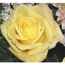 Роза чайно-гибридная Скайлайн