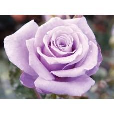 Роза чайно-гибридная Стерлинг Сильвер