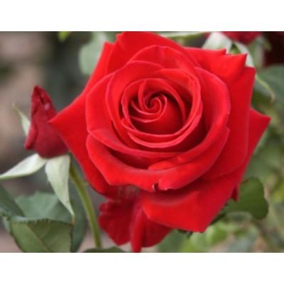 Роза плетистая Клайминг Крайслер Империал купить саженцы