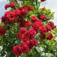 Роза плетистая Мусимара