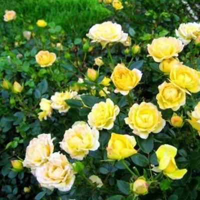 Роза почвопокровная Фэйри Йеллоу купить саженцы