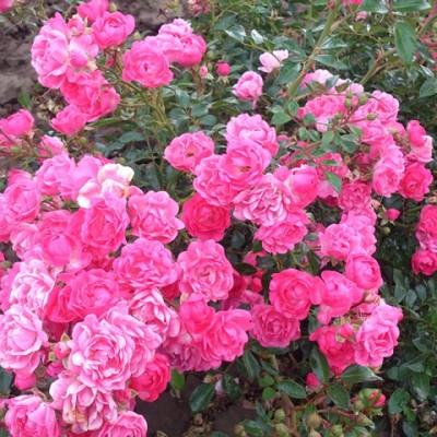 Роза почвопокровная Пинк Файр купить саженцы