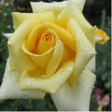 Роза чайно-гибридная Саттерс Голд