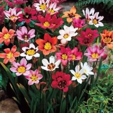 Спараксис трёхцветный Cмесь окрасок