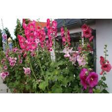 Шток-роза (Мальва)