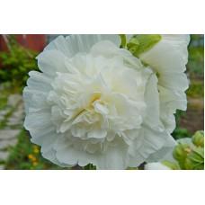 Шток-роза (Мальва) розовая Пленифлора Бланк