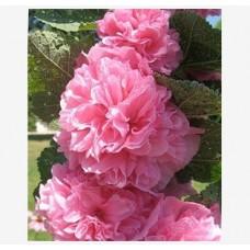 Шток-роза (Мальва) розовая Пленифлора Роуз