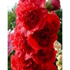 Шток-роза (Мальва) розовая Пленифлора Руж