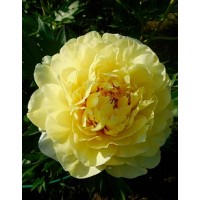 Шток-роза (Мальва) розовая Пленифлора Жун