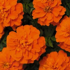 Бархатцы отклоненные Бонанза Оранж