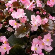 Бегония вечноцветущая бронзоволистная Гавана Роуз