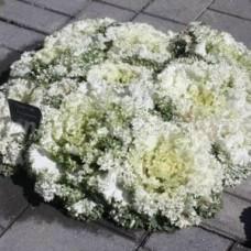Капуста декоративная Камоме Вайт