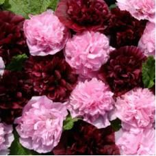 Шток-роза Вэри Бэри