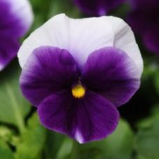 Виола крупноцветковая Дельта Биконсфилд