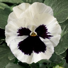 Виола крупноцветковая Дельта Вайт виз Блотч