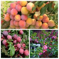 Дерево-сад (2-3х, 3-4х летка) слива 2 сорта  Скороплодная - Аленушка