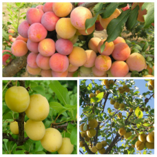 Дерево-сад (2-3летка) слива 2 сорта  Скороплодная - Злато скифов