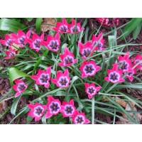 Тюльпан Ботанический Литтл Бьюти