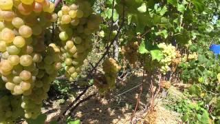 """Виноград """"Платовский """" виноградник в Киевской области."""