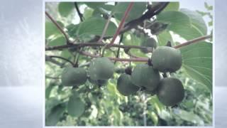 Актинидия острая - лекарственное и вкусное растение. Actinidia arguta