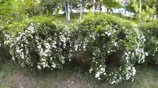 Спирея ниппонская Сноумаунд (белая) - широкораскидистый кустарник с густой кроной