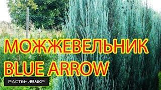 Можжевельник скальный Блу Эрро (арроу) / Можжевельник посадка и уход / хвойные растения