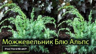 Можжевельник китайский Блю Альпс / Можжевельник посадка и уход / хвойные растения