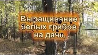 Выращивание белых грибов на даче. ч.1