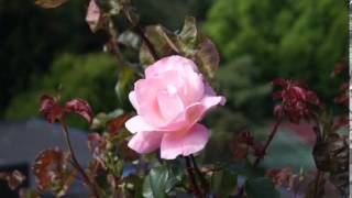 The Queen Elizabeth Rose