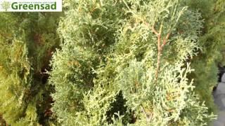"""Туя западная """"Holmstrup"""" - видео-обзор от Greensad"""