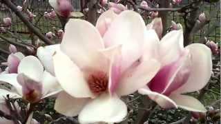 Цветёт магнолия Суланжа