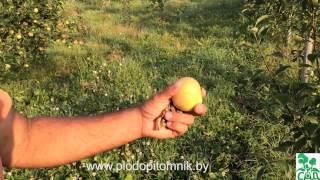 Яблоня сорт Медуница