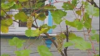 Виноград Кристалл, винный сорт