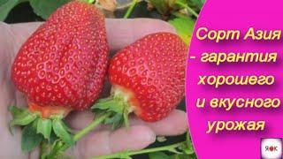 Сорт клубники Азия - гарантия хорошего и вкусного урожая