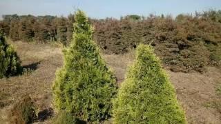 "Туя западная ""Stolwijk"" | Plante.md - YouTube"